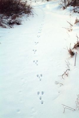 Rabbit tracks look like Ys. The two smaller forefeet register behind the parallel, larger hindfeet. #RogersWinterWhites