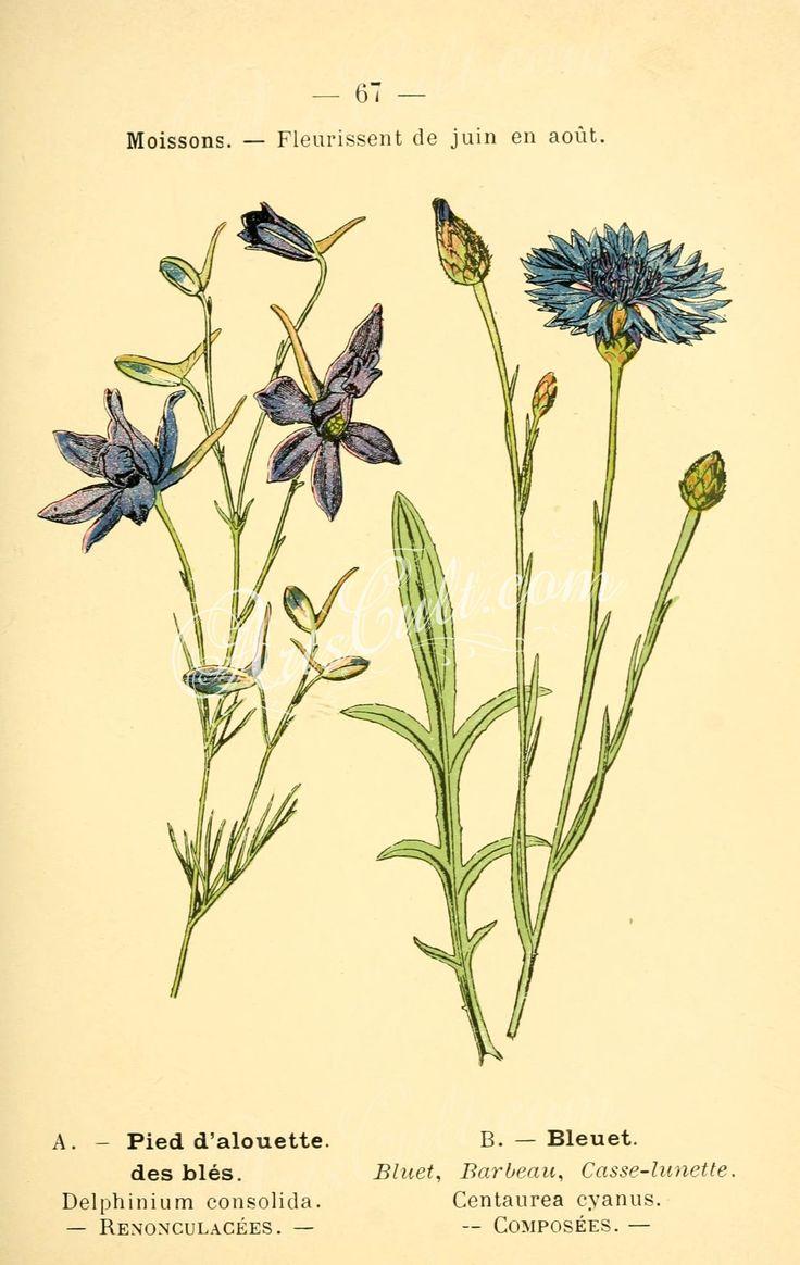 delphinium consolida, centaurea cyanus   ...