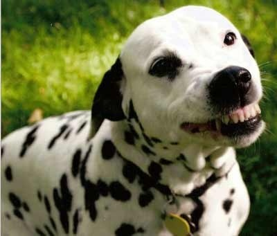 Dalmatian Smile, looks scary, but actually one of the sweetest things to receive :)
