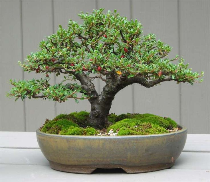 Cotoneaster-bonsai by Mike. Bonsai-art, bonsai-tree, bonsai