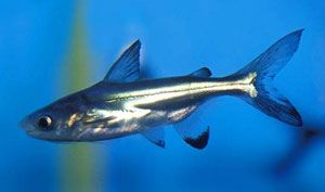 *Very Hardy* Iridescent Shark (Pangasius hypophthalmus) - I have 1 of these. Come to find out they are actually baby catfish that can get huge - too huge for a 20 gallon tank!