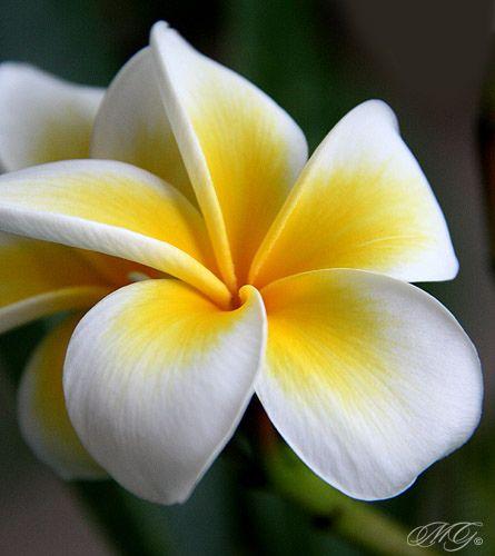 Blooming Plumerias - My absolute favorite flower in the whole wide world...