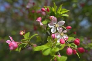 Herbal Correspondences: Apple Blossoms