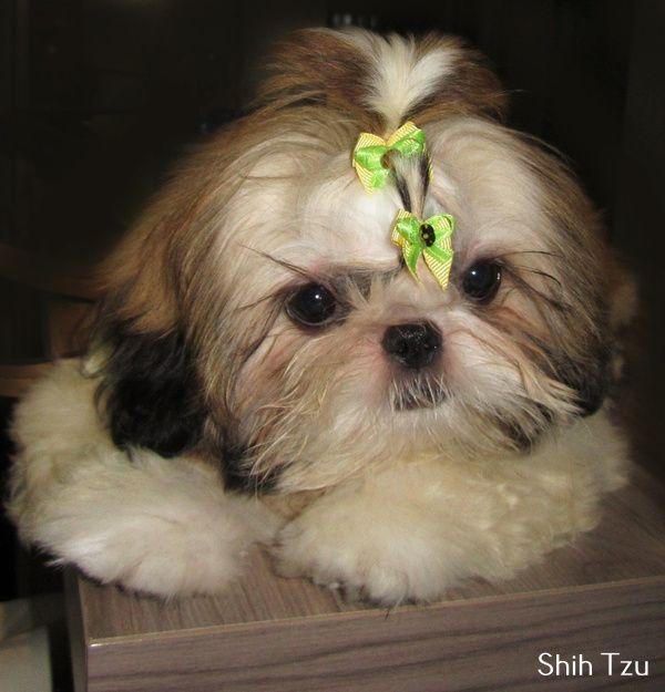 Shih Tzu Affectionate And Playful Shih Tzu Shih Tzu Puppy Shih Tzu Dog