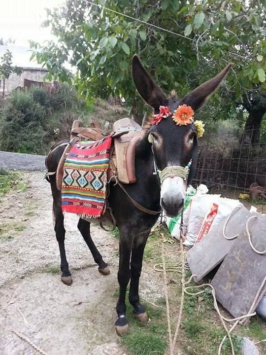 Prachtige ezel van Kreta. Gemaakt tijdens de outreach van Stichting Ezelhulp Kreta. Courtesy: Vereniging het Nederlands Ezelstamboek, BJ WASSENAAR (NEDERLAND).