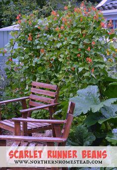 Growing Food - Scarlet Runner Beans (Recipe)