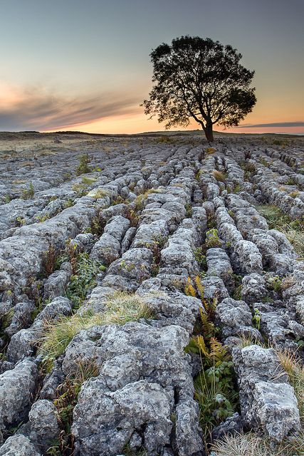 Malham Ash--Yorkshire Dales National Park