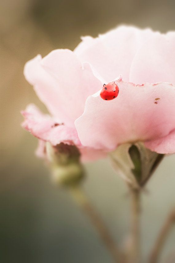 Pale pink rose  ladybug | Photography by treetopphotoshop.etsy.com