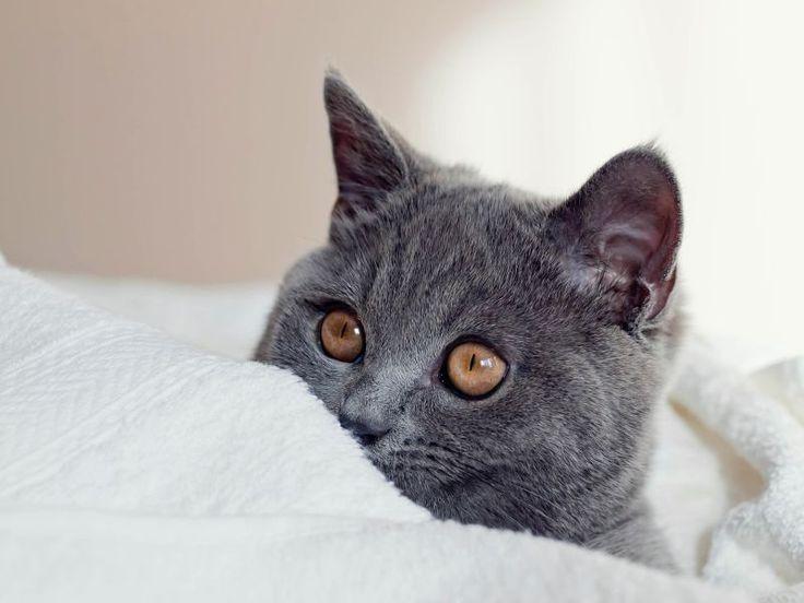 Britisch Kurzhaar: Charakter der Katze
