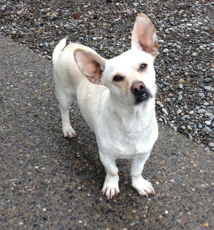 Meet PLEASE HELP HARRISON!  FOSTER NEEDED! a Petfinder adoptable French Bulldog Dog | Auburn, WA | Meet Harrison... a wonderfully sweet, 2ish yr old Frenchi/Corgi mix (yes, interesting mix!) that...