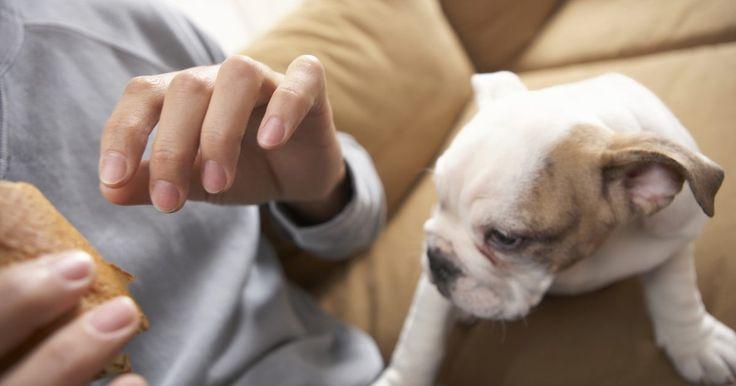 Cómo cuidar a un cachorro boxer de color blanco. Aproximadamente un cuarto de todos los cachorros boxer tienen pelos blancos, de acuerdo al Club Americano de Boxer (American Boxer Club). Tanto el padre como la madre deben ser portadores del gen recesivo, que crea a los cachorros blancos. Los cachorros de dos boxers blancos siempre son blancos. El pelaje blanco no es aceptado por el Club ...