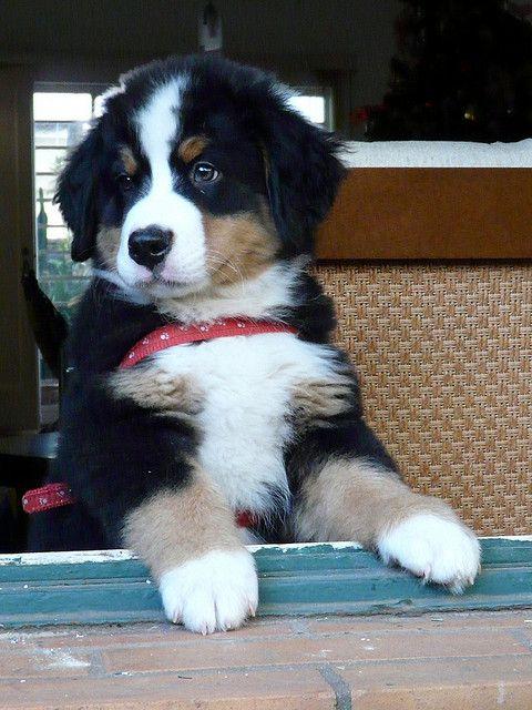 bernese mtn dog - my fave!