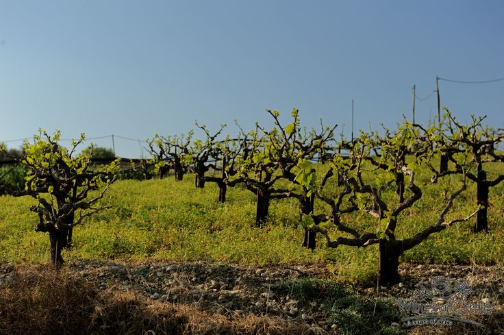 We are preparing for the greatest Wines of Crete. Have a great day everyone #wines #winewednesday #winestream #Crete