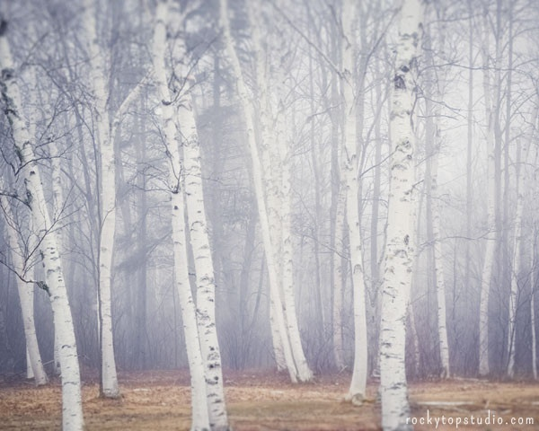 Maine Landscape Photography Print Birch Trees in Fog No. 1