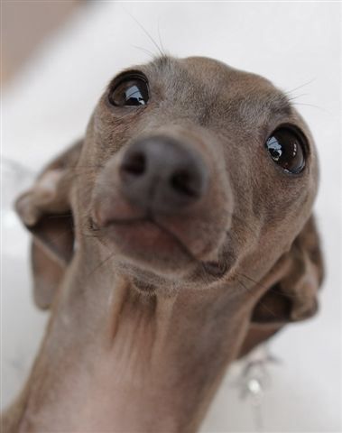 Italian Greyhound....Awe!