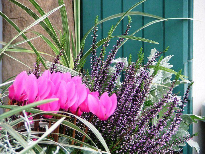www.fleursaubalcon.com Abonnement de jardinière fleurie pour balcon Cyclamen, ophiopogon et bruyère.