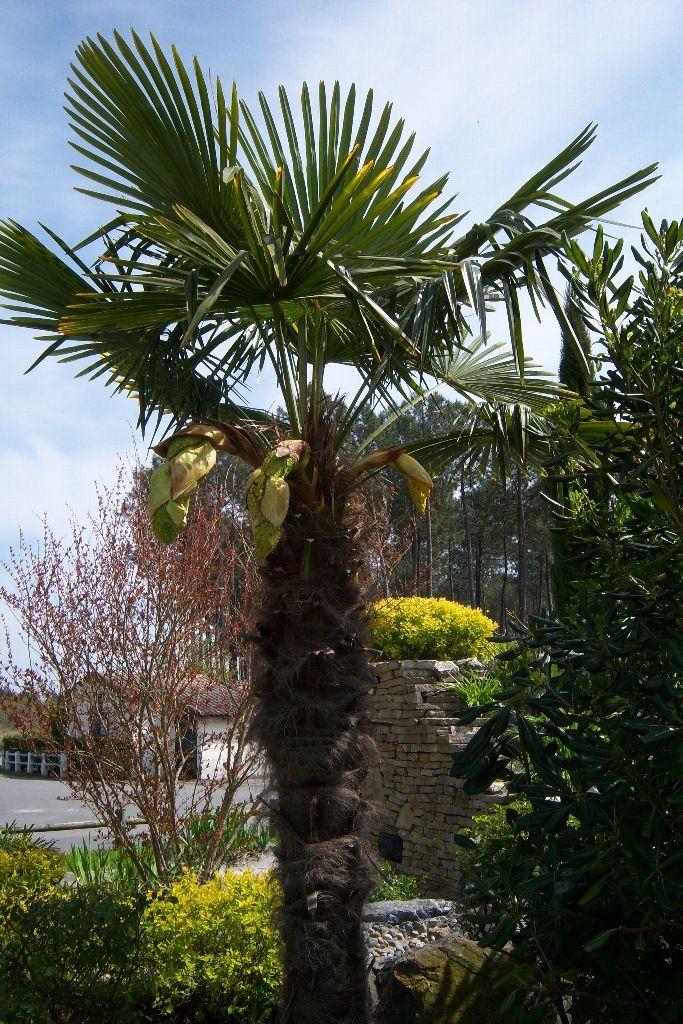 les 25 meilleures id es de la cat gorie chamaerops excelsa sur pinterest palmier trachycarpus. Black Bedroom Furniture Sets. Home Design Ideas