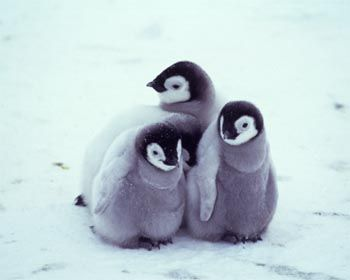 Lovely baby penguins | Flickr - Photo Sharing! Adorable little babies. Share the cuteness. #Penguin