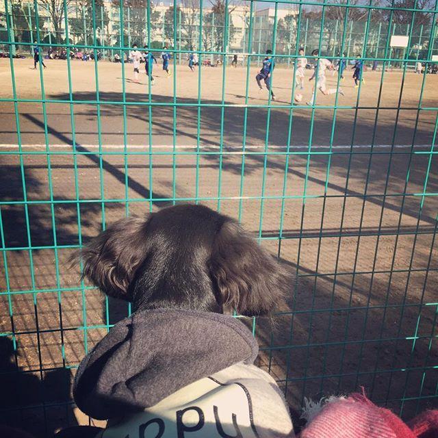 お兄ちゃん(次男)のサッカー試合観戦⚽️ 初めてれむちゃんを連れて行きました。 何気にじーっと観てる お兄ちゃん見つけられたかな? . . . #justdachshunds #inutokyo #pappy #dogstagram #dachshunds #dachshund  #dachshundoftheday #dachshundlove#dachshundpuppies #west_dog_japan #all_dog_japan # #kaninchen #kaninchendachshund#ブラッククリーム #カニンヘンダックスフンド #わんこ#パピー#愛犬家 #愛犬 #子犬 #ダックスフンド #カニンヘンダックス #カニンヘン #ig犬会 #サッカー #soccer #football