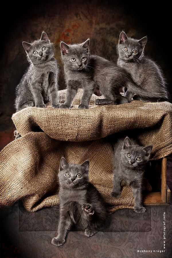 Chartreux Kittens ♡... Re-pinned by StoneArtUSA.com ~ affordable custom pet memorials for everyone.