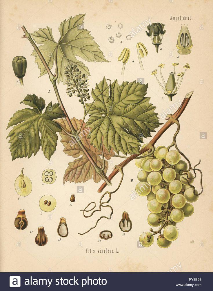 Grape Growing for Amateurs Classic Reprint