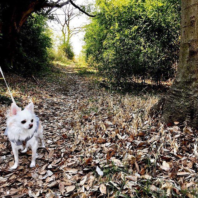 【asa_comu】さんのInstagramをピンしています。 《お散歩日和  昨日は  ぽかぽか陽気だったので  河川敷に  お散歩に  バードウォッチングが  できる小さな森みたい  こむぎ  冬の森も  素敵だね  #petstagram#insta_dog#dog#暮らし#日々#チワワ# #チワワなしでは生きていけません会#ちわわ#わんこなしでは生きていけません会#sweetdog#smalldog#inulog#chihuahualove#chihuahuastagram#チワワ#ロングコートチワワ#犬のいるくらし#love#cute#happy#ファインダー越しの私の世界#カメラ女子#wooftoday#お散歩#森#お散歩日和#folest#winter#green#tree》