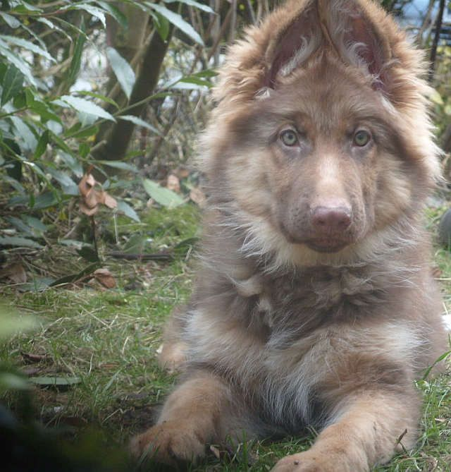 tan german shepherd...