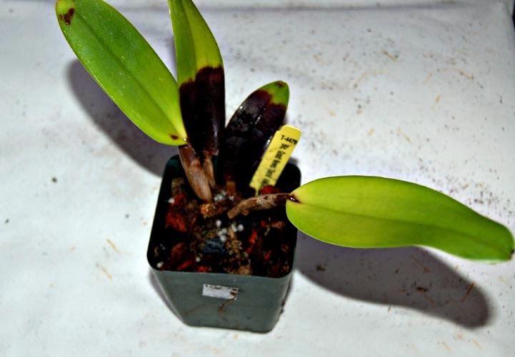 Paixão por orquídeas - Meu orquidário: Pragas e doenças que atacam as orquídeas: Podridão...