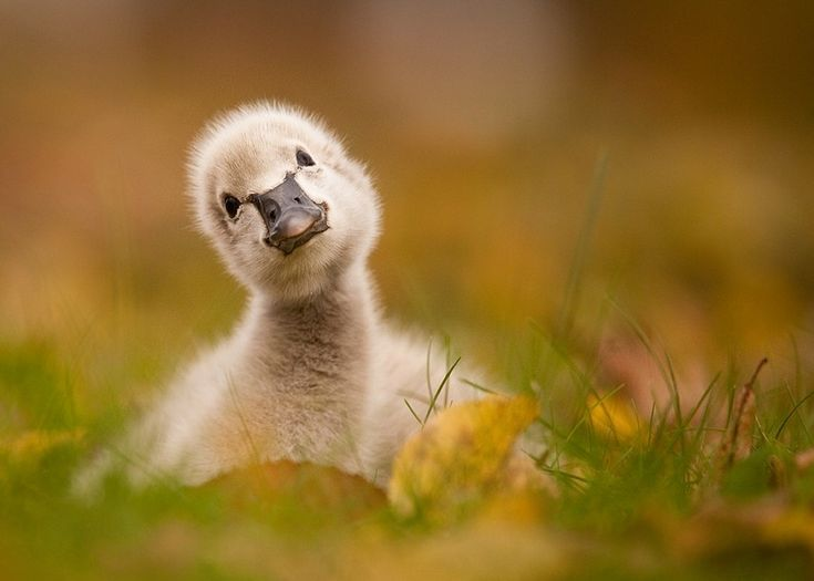Black swan baby by Robert Adamec on 500px