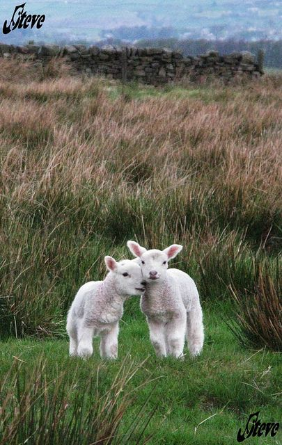 Love-Denholme lambs-Ogden, England