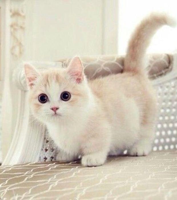 GATTI: Il Munchkin - Un gatto di razza che vi conquisterà!