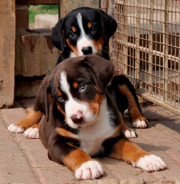 Appenzeller Sennenhunde Dog Breed Information Popular Pictures In 2020 Dog Breeds Appenzeller Dog Puppies