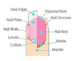 Image result for nail diagram labeled | Histology  Skin