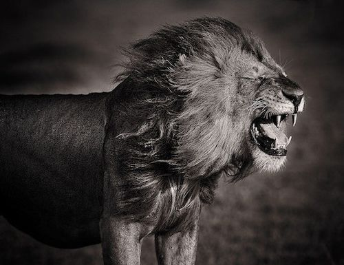 : Photos, Big Cats, Animals, Nature, Black And White, Lions, David Lloyd, King, Photography