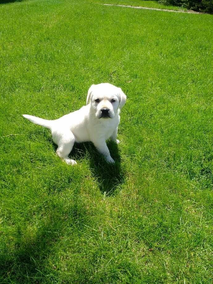 Chance 4 5 Weeks Old Labrador Retriever Dogs Labrador