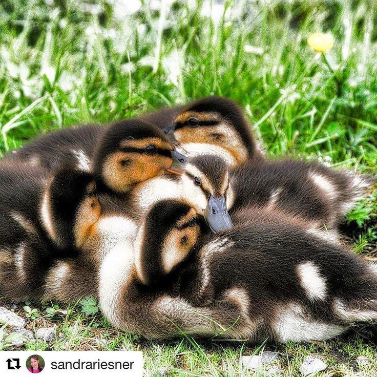 Friends take care of friends. #reiseliv #reisetips #reiseblogger #reiseråd  #Repost @sandrariesner (@get_repost)  It's so good and save to have someone around you that loves you  godt å ha det trygt med noen søsken rund seg  #goodmorning #ducks #duckfamily