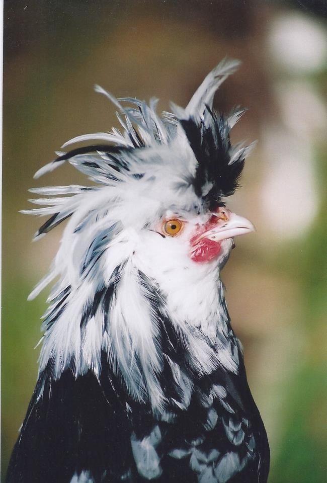 Mottled Houdan heritage rare breed chicken