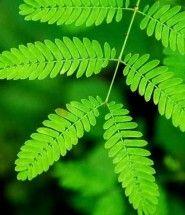 La mimosa pudica. Alcuni esperimenti confermano che le piante utilizzano meccanismi di intelligenza quali memoria, apprendimento e comunicazione - http://www.ehabitat.it/2014/04/02/provata-lintelligenza-delle-piante/