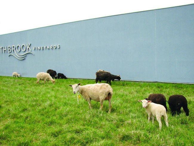 Sheep at Southbrook Vineyard