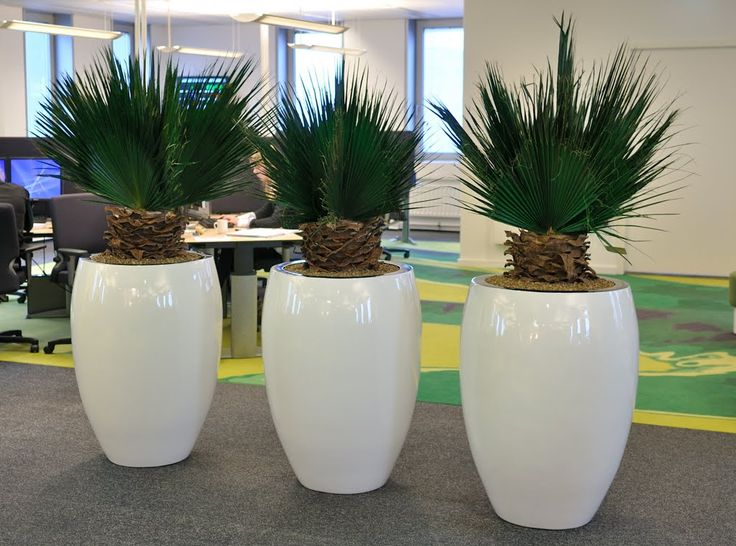 Three In A Row Mummie Palm With Jura Planter By Nieuwkoop Europe