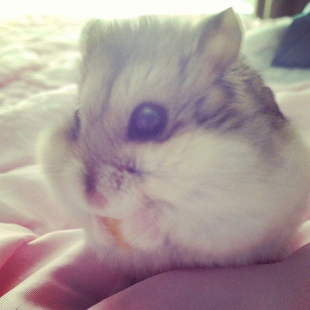 My Russian dwarf hamster, Scabbers. :) (He's eating a corn flake, his favorite!)  Best hamster everrrr...and he never bites