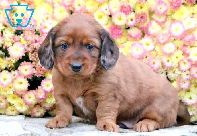 Pee Wee Miniature Puppies Dachshund Puppies For Sale Dachshund
