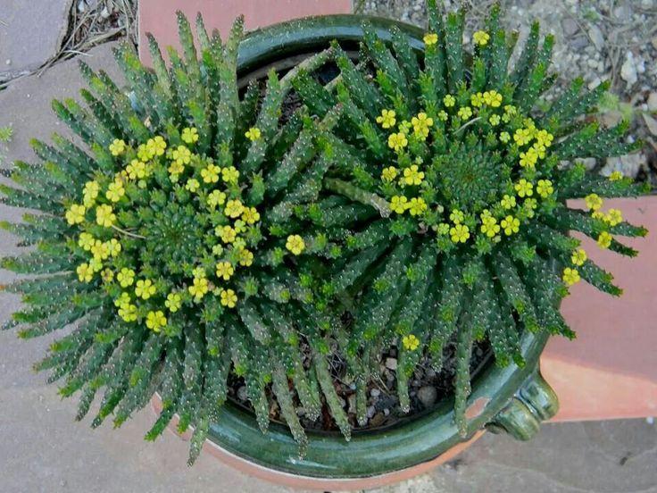 """Euphorbia caput-medusae (""""Medusa's Head"""")"""
