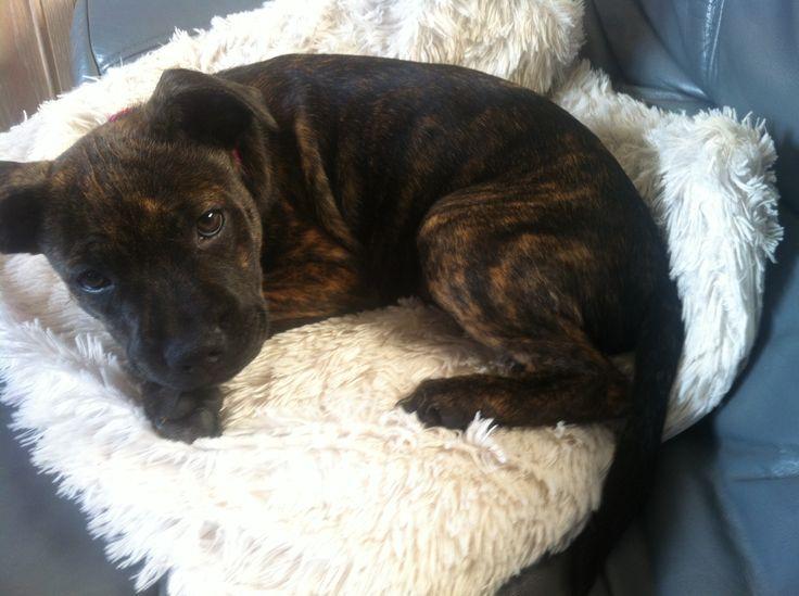 Mabli, rescue Staffy puppy
