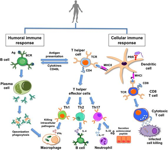 Leukocytes ~ macrophages, neutrophils, mast cells, natural killer cells, dendritic cells - macrophages = phagocytose pathogen and then act as antigen presenting cell. - neutrophils = Polymorphonuclear...