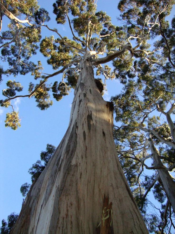 Grand eucalyptus, Tasmania