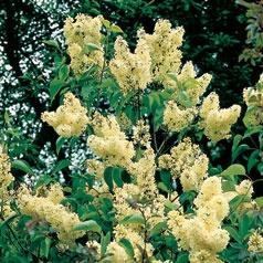 Syringa (Lilac) Primrose