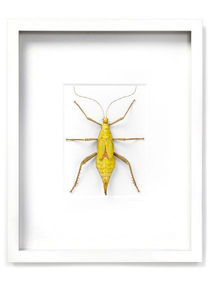 Yellow Tree Nymph (Shadow Box Frame) by Christopher Marley at Gilt