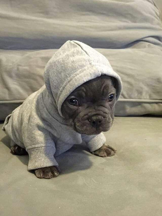 En mode boxeur... ...Blue French Bulldog Puppy in a Hoodie.