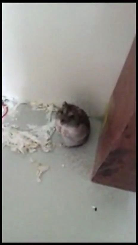 SO FRIGGEN CUTE I CANT STAND IT [VIDEO] Hamster Plays Dead #cute #funny